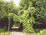 необычное растение для озеленения садового участка - аристолохия